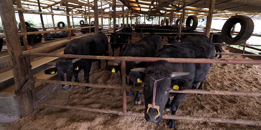 オルゴールが流れる心地よい環境の牛舎