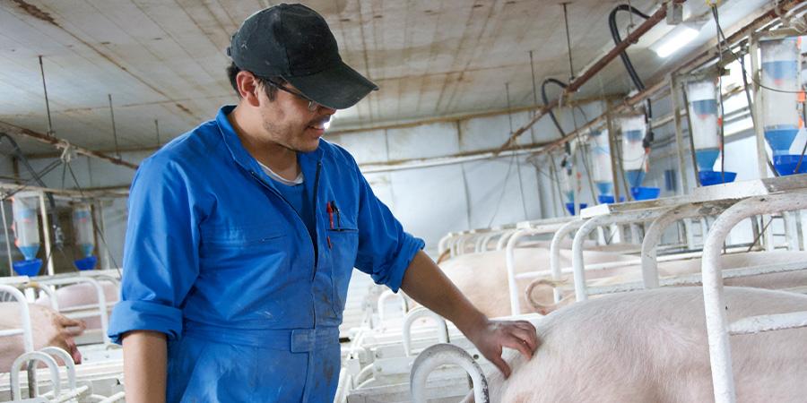 毎日、豚の体調管理に目を光らせる